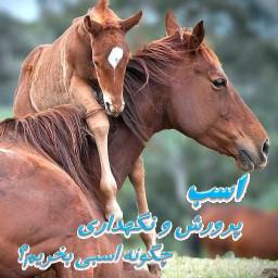 اسب پرورش و نگهداری