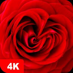 Rose Wallpapers 4K