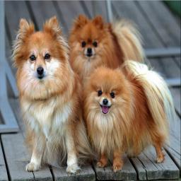 معرفی و تربیت سگ خانگی