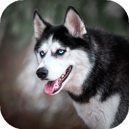 Husky dog Wallpaper HD : backgrounds & themes