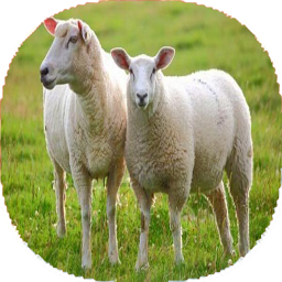 نکات و آموزش گوسفند داری