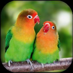 Lovebird sounds