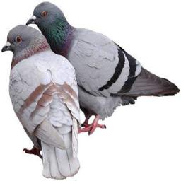 صفر تا صد پرورش کبوتر