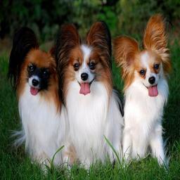 انواع نژاد سگ ها